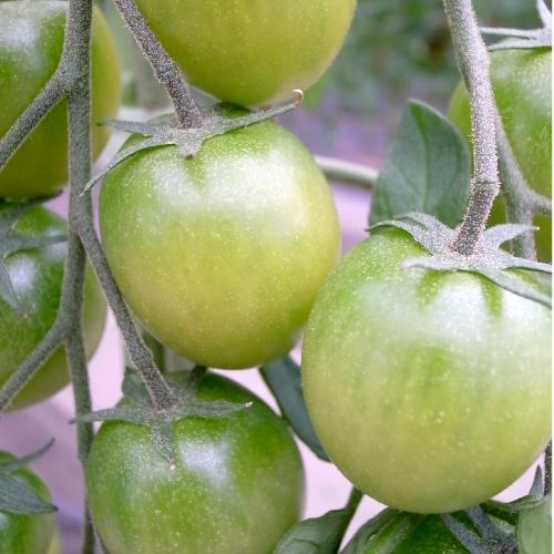 マグワートトマト取り扱いとまと「みどりちゃん」