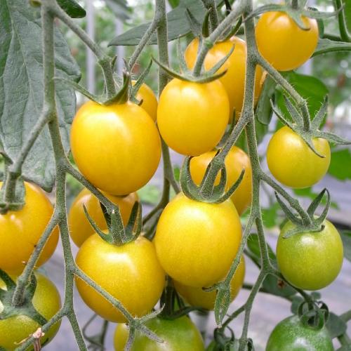 マグワートトマト取り扱いとまと「イエローミミ」